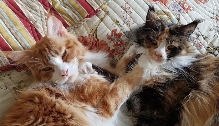 Утренние сплюхи :) Мейн-Кун, Кот, Милота, Домашние животные