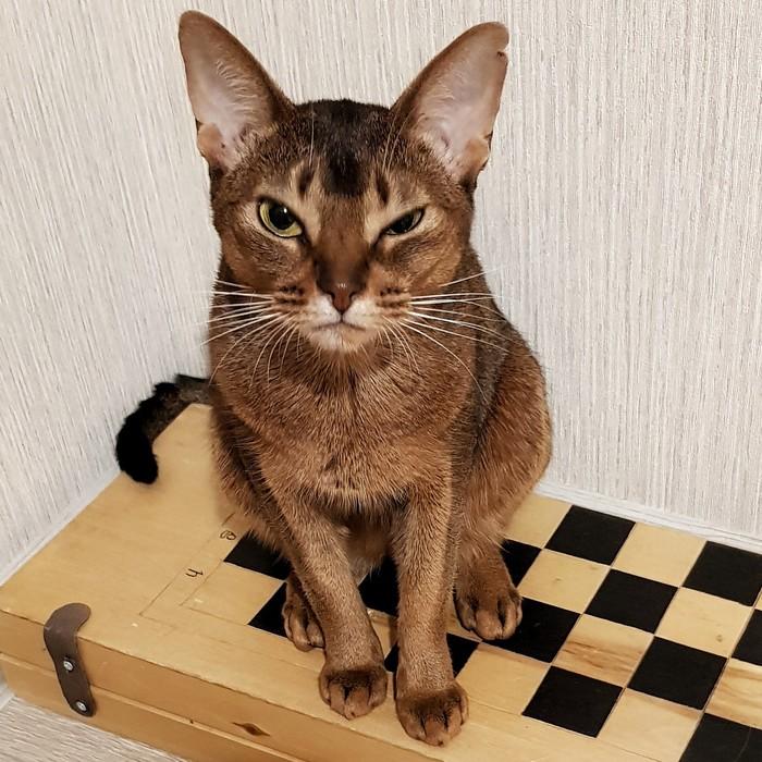 Сыграем партейку? Абиссинская кошка, Домашние животные, Домашний любимец, Шахматы, Кот