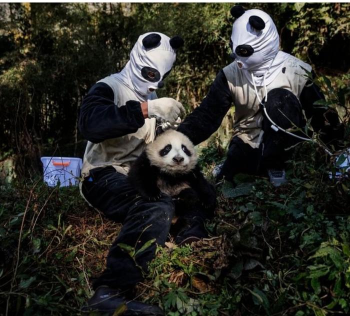 Медицинская диагностика детёныша панды Панда, Ученые, Животные, Китай, Биология