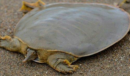 Мягкотелая черепаха Свайно Животные, Дикие животные, Природа, Черепаха, Чудеса природы