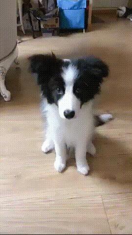 Дай пять! Собака, Дрессировка, Рука, Милота, Гифка, Хороший мальчик, Бордер-Колли, Домашние животные, Животные