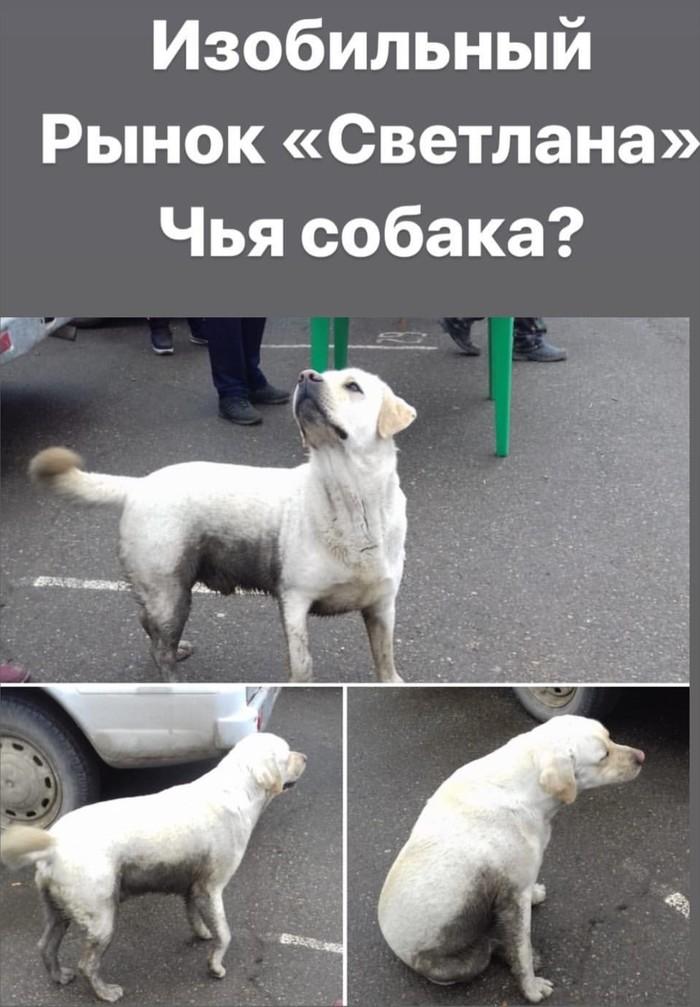 Изобильный, Ставропольский край, потерялся Лабрадор! Изобильный, Собака, Животные, Потеряшка, Помогите найти, Без рейтинга, Пропала собака, Лабрадор, Длиннопост