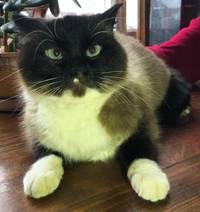 Кошечка Нора ищет дом!!! Тайская кошка, В добрые руки, Без рейтинга, Длиннопост, Москва, Отдам, Кот