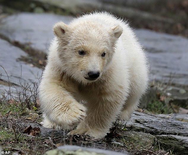 Первые уроки плавания для белого медвежонка Медведь, Белый медведь, Зоопарк, Видео, Длиннопост