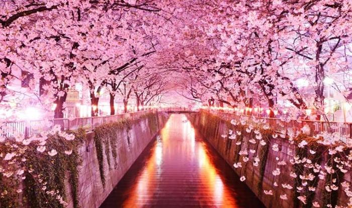 Сезон вишни в Японии Россия-Япония, Япония, Вишня, Сезон вишни