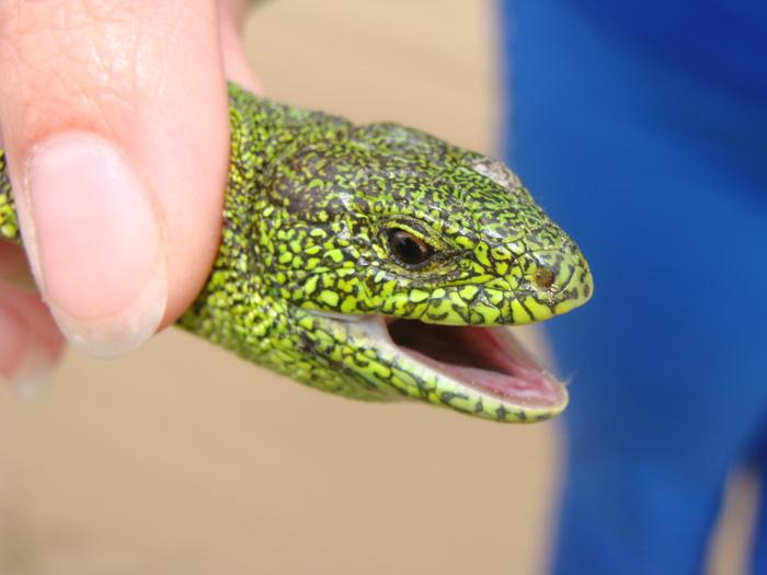 Зеленый дракончик Лето, Природа, Ящерица, Длиннопост