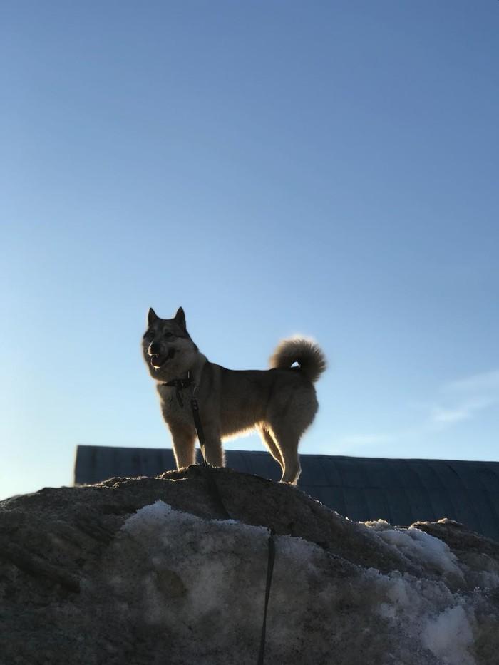 Ищет дом лайка! Альметьевск Альметьевск, Ищу хозяина, Длиннопост, Лайка, Без рейтинга, Собака, Найдена собака, Домашние животные
