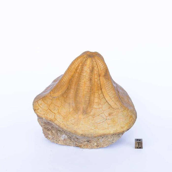 Окаменелый панцирь морского ежа Палеонтология, Морской еж