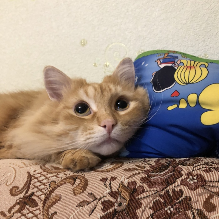 Мечтатель Кот, Питомец, Домашние животные