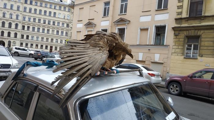 Санкт-Петербург Санкт-Петербург, Птицы, Чучело