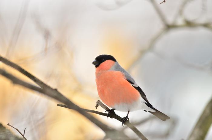 Птицы в Выборге Фотография, Выборг, Птицы, Снегири, Синица, Зеленушка, Длиннопост
