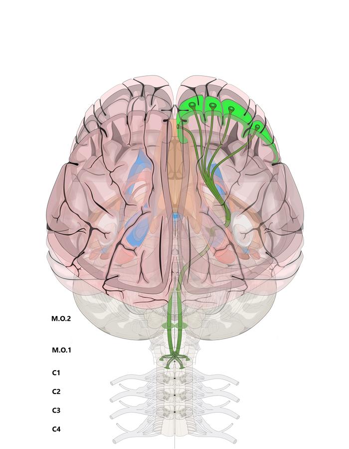 Нейротектоника 2 Неврология, Схема, Нейротектоника, Длиннопост