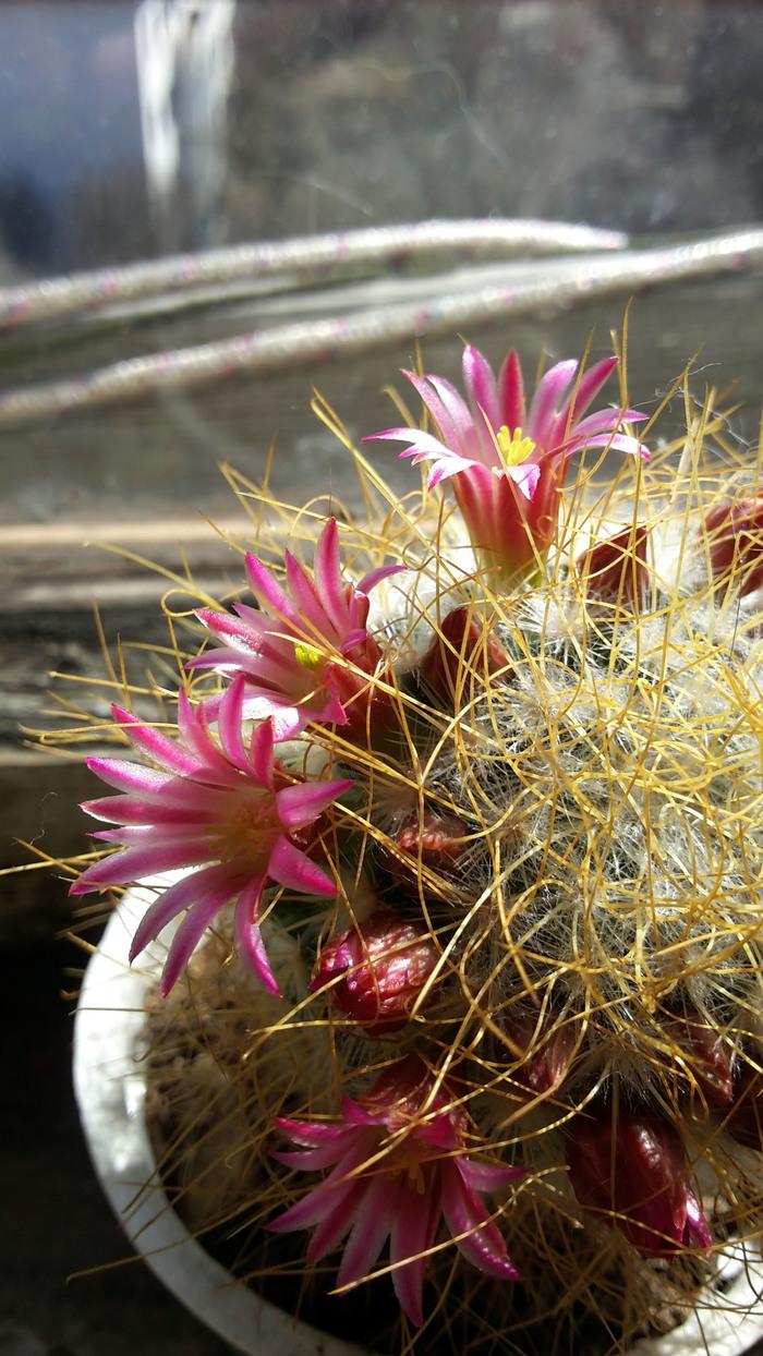 Кактусы Кактус, Цветущие кактусы, Комнатные растения, Длиннопост