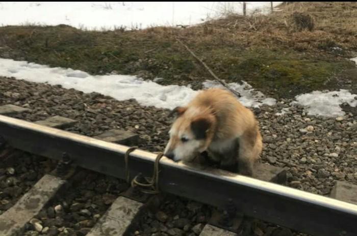 Собаку привязали к рельсам Собака, Поезд, Мрази, Домашние животные