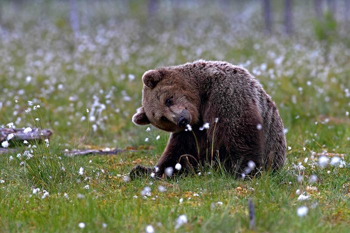 Цветочек The National Geographic, Фотография, Медведь, Животные, Цветы