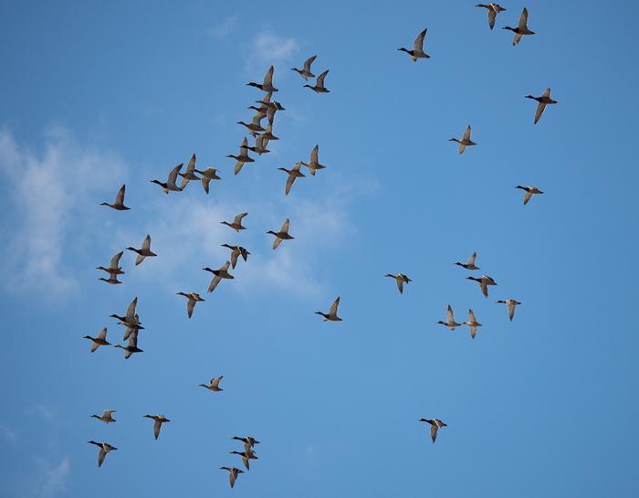 Начался перелет Птицы, Фотоохота, Перелет, Весенний перелет, Утка, Цапля, Гусь, Лебеди, Длиннопост