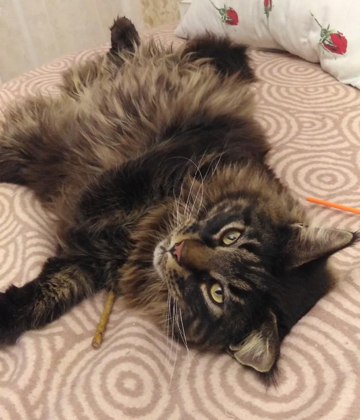 Тепло на душе Кот, Мейн-Кун, Большие кошки, Счастье, Длиннопост