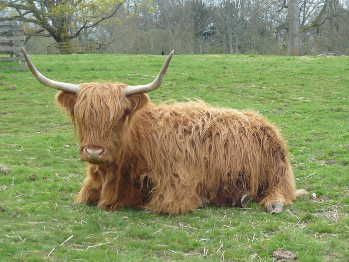 Хайленд Великобритания, Шотландия, Хайленд, Скот, Корова, Достопримечательности, Длиннопост, Домашние животные