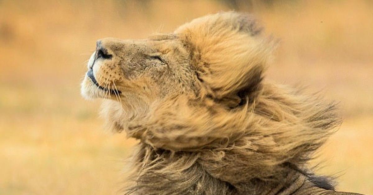 Картинки лев приколы, пивной кружки