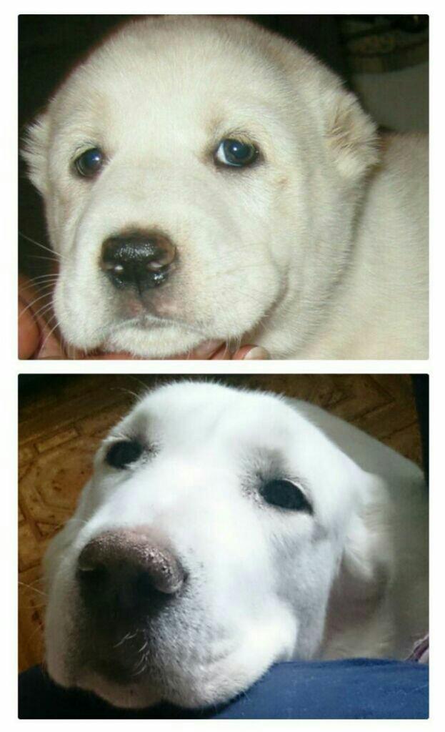 Белый мишка - алабай Алабай, Собака, Друг человека, Домашние животные