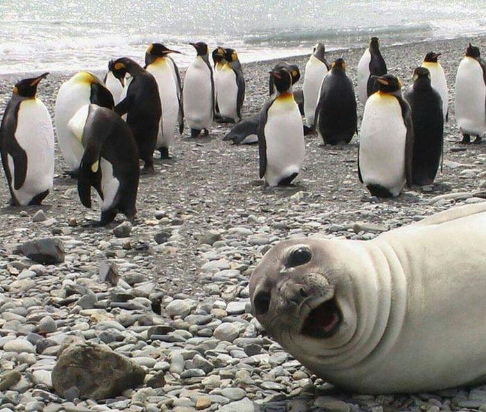 Пингвины Пингвины, Зверь, Животные, Чужой среди своих, Свой среди чужих, Птицы, Длиннопост