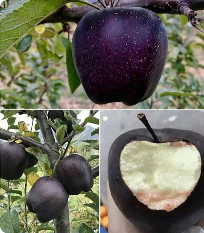 Бриллиантово чёрное яблоко, выросшее в горах Тибета.