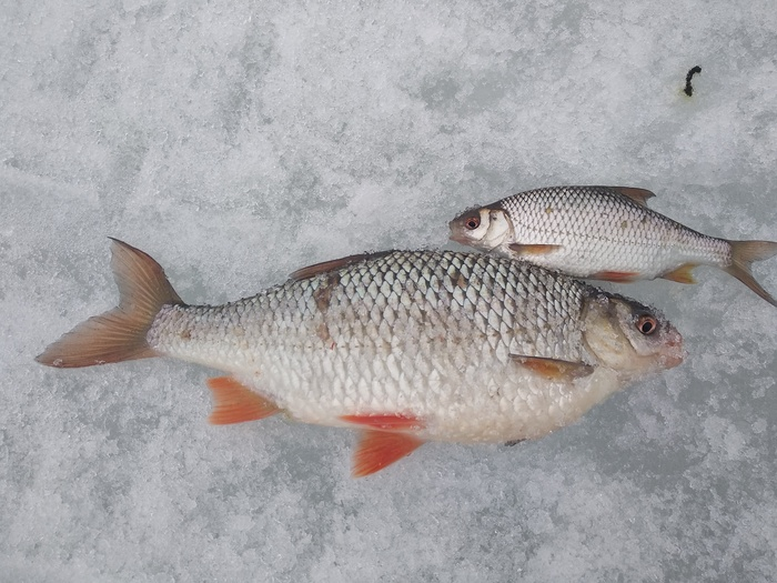 Плотва зашевелилась! Плотва, Зимняя рыбалка, Подледная рыбалка, Рыбалка