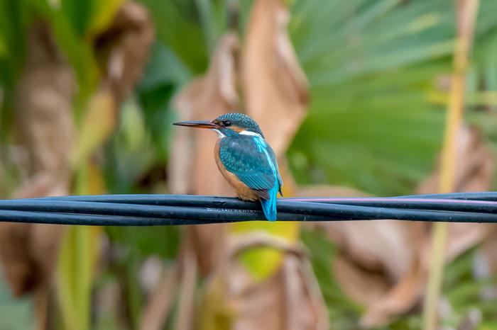 Зимородки Зимородок, Абхазия, Птицы, Фотография, Nikon, Длиннопост