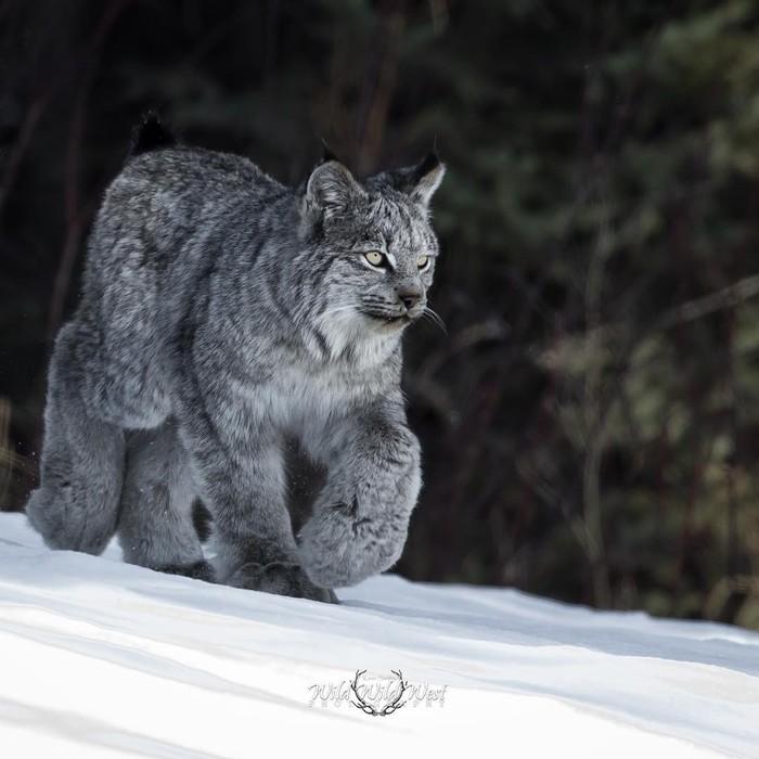 Пушистые лапки Фотография, Животные, Рысь, Дикая природа, Снег, Канадская рысь, Как мощны мои лапищи, Лес