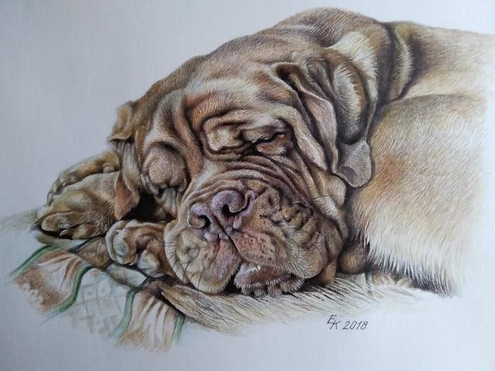 И снова бордоссы. Портреты цветными карандашами. Бордоский дог, Рисунок, Портрет, Собака, Портрет собаки, Цветные карандаши, Длиннопост