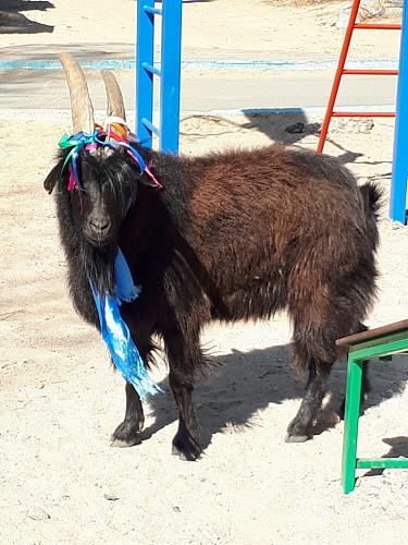 По Улан-Удэ вновь разгуливает обрядовый козёл Козел, Шаманство