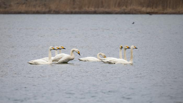 Строй лебедей Лебеди, Лебедь-Кликун, Строй