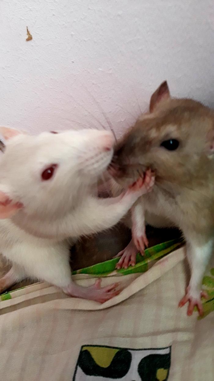 Всемирный день крыс?.. Крыса, Декоративные крысы, Домашние животные, Животные, Милота, Длиннопост, День крыс