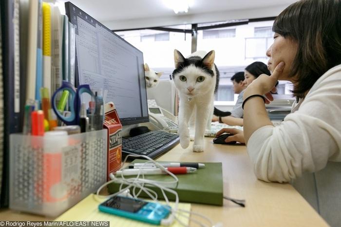 Хвостатые работники Котомафия, Работа, Япония, Стресс, Гениально, Длиннопост, Кот