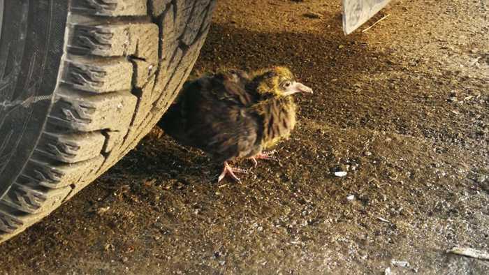 Все давно хотели, как выглядит детёныш голубя. Вот ловите Голубь, Орнитологи