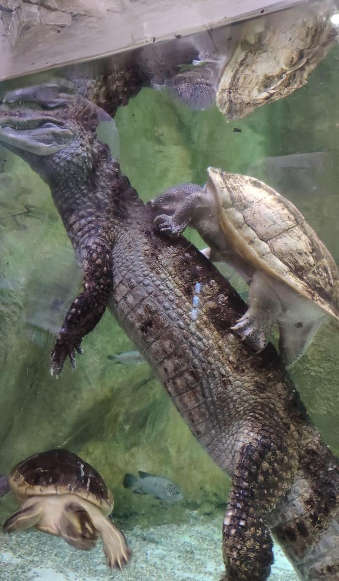 Укротитель крокодилов Москва, Москвариум, Длиннопост, Черепаха, Крокодил