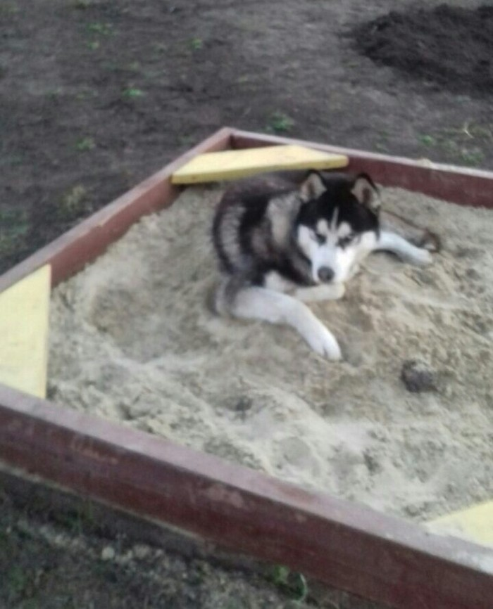 Любимое место Собака, Арчи, Любимое место, Хаски, Длиннопост