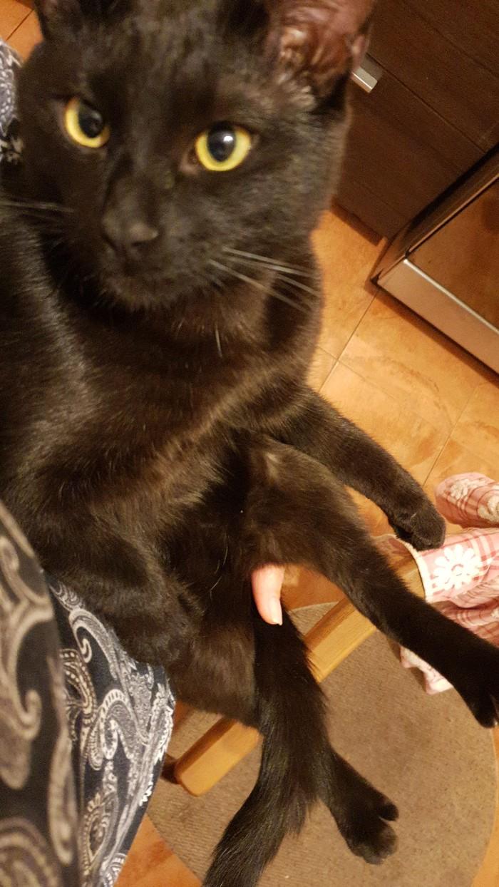 80 lvl шелковистости Котомафия, Кот, Черный кот, Длиннопост