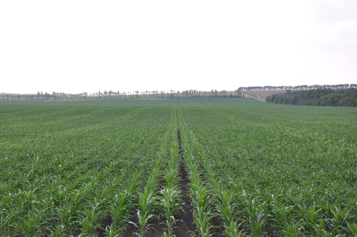 Как производят семена кукурузы (часть 1) Лига Сельского Хозяйства, Прогрессивное растениеводство, Семеноводство, Сельское хозяйство, Кукуруза, Видео, Длиннопост