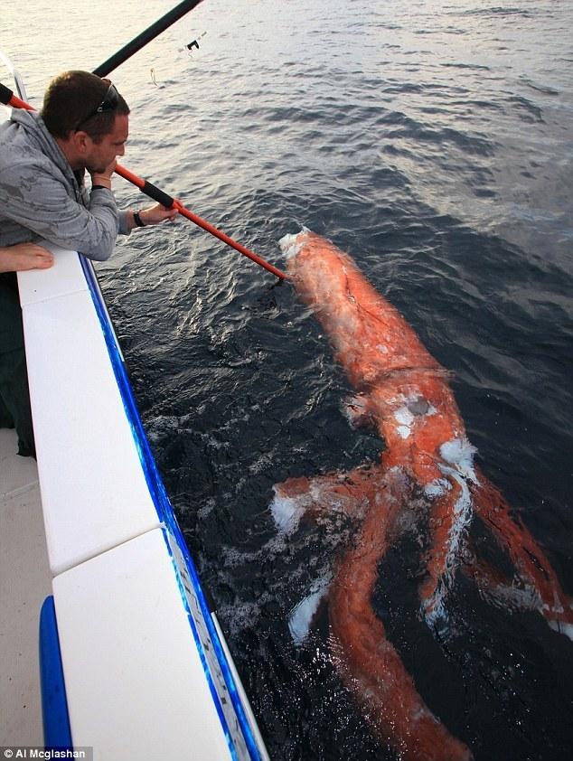 Обитатели морских глубин. Океан, Биология, Кальмар, Длиннопост, Морские обитатели