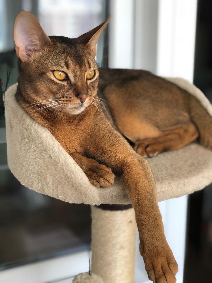 Такими мы были, и стали))) Симба))) Абиссинская кошка, Кот, Длиннопост
