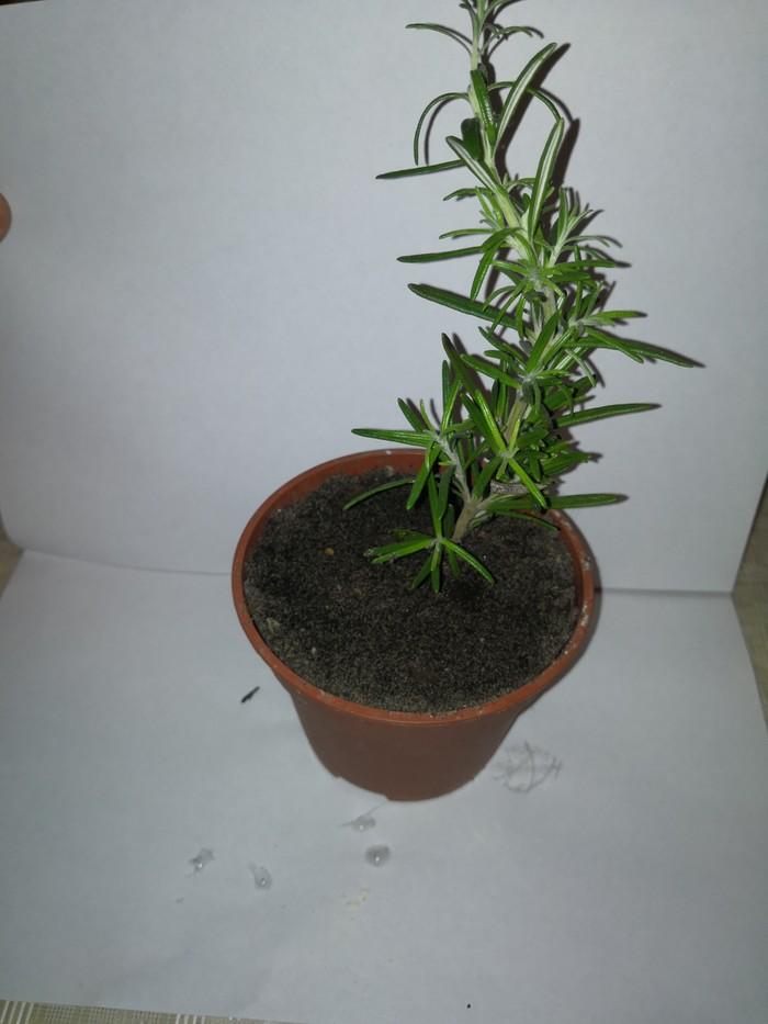 Выращивание розмарина из магазина Растения, Розмарин, Длиннопост, Пошаговое руководство