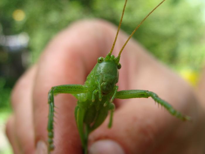Зелёненький он был... Природа, Насекомые, Кузнечик, Длиннопост