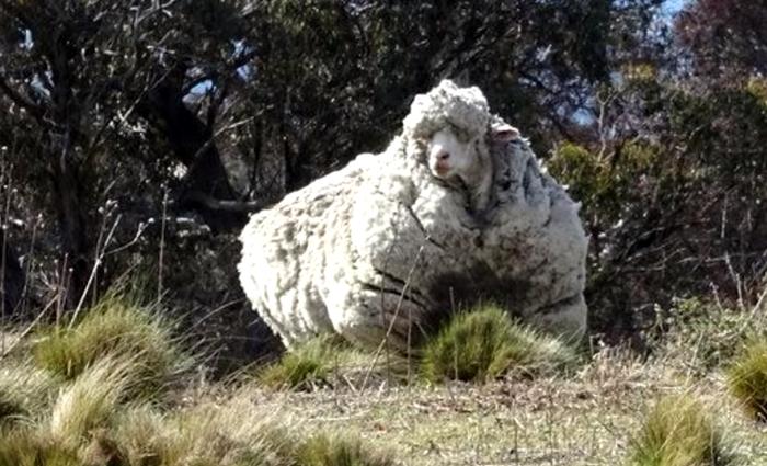 Что будет, если не стричь овцу несколько лет. Шерсть, Овцы, Животные