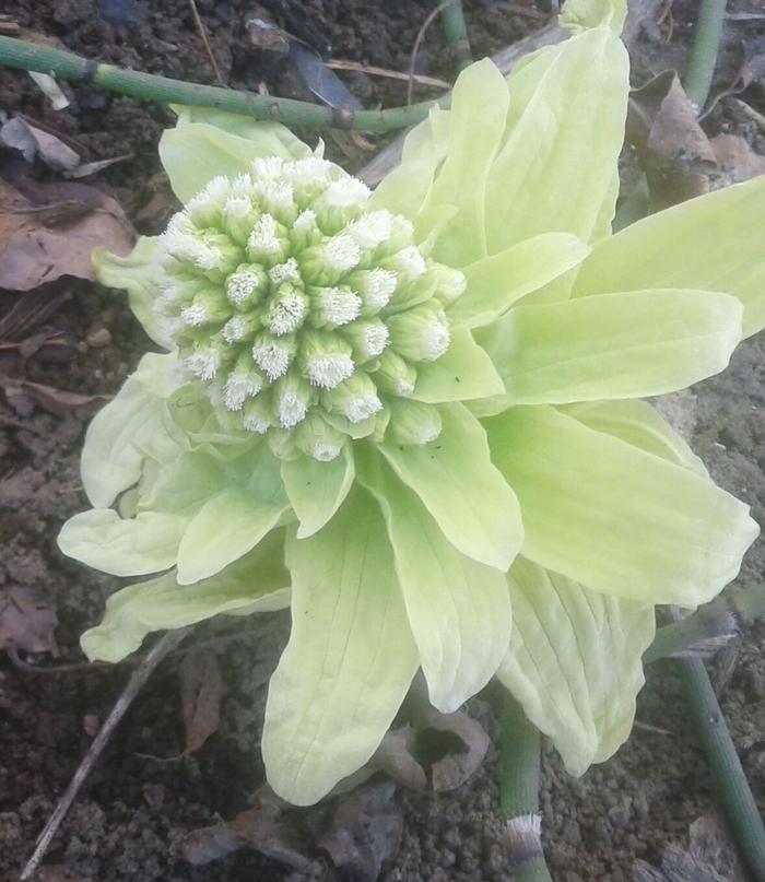 """Весенние """"хризантемы"""" Фотография, Весна, Необычная еда, Цветы, Фото на тапок, Длиннопост"""
