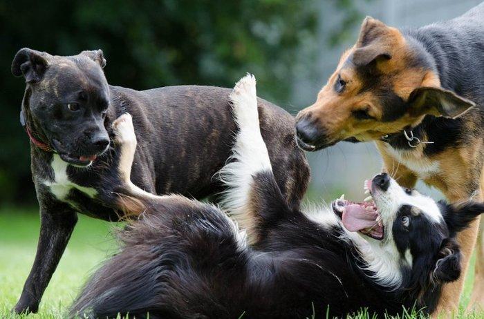 Чем отличается стая волков и собак? Собака, Волк, Стая, Животные, Длиннопост