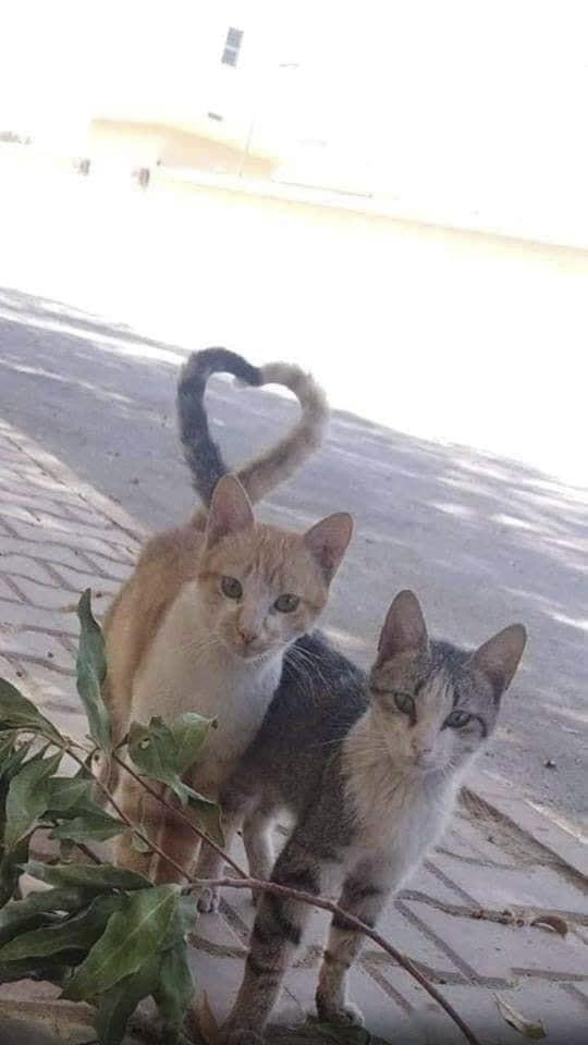 Отличная пара Пара, Кот, Снимок, Фотография, Сердце