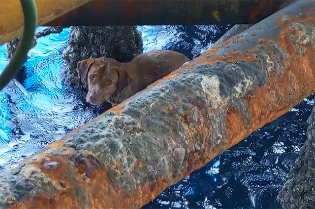Сотрудники буровой платформы спасли собаку в 220 км от побережья Таиланда Таиланд, Собака, Длиннопост, Спасение животных