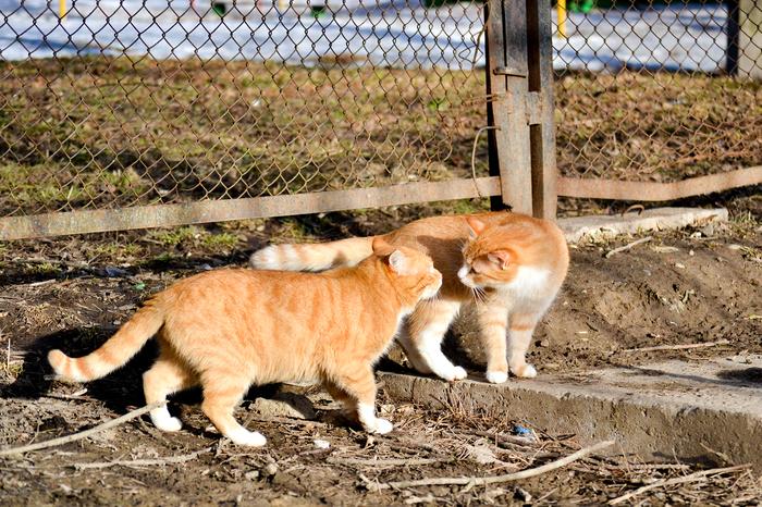 Мартовская песня. Кот, Мартовские коты, Рыжие, Весна, Март, Любовь