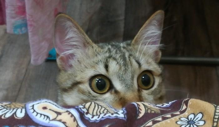 Чем это ты занимаешься, интересненько? Кот, Курильский бобтейл, Котомафия, Любопытство, Что ты делаешь, Интересно узнать